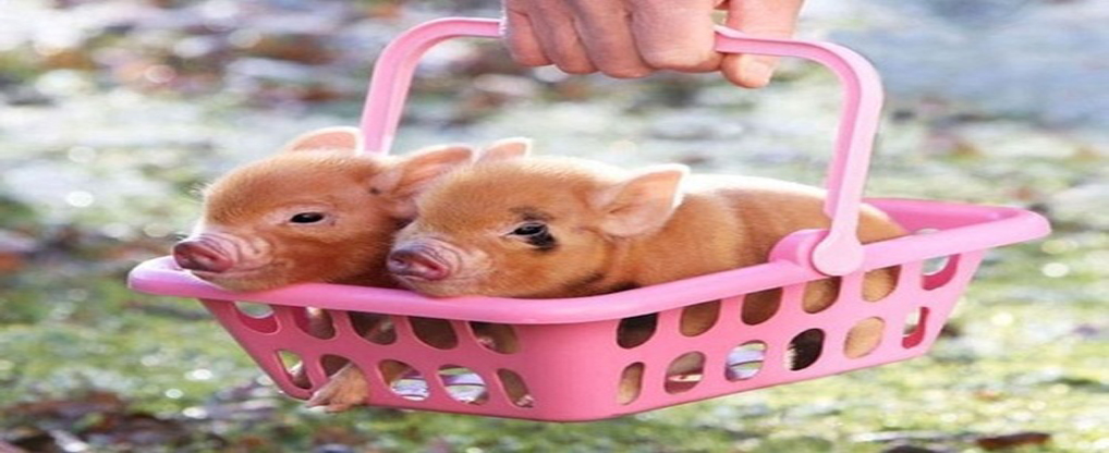 Disciplined Teacup Pigs