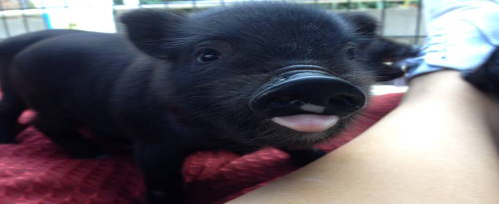 Teacup Pigs: Buy them with All Information